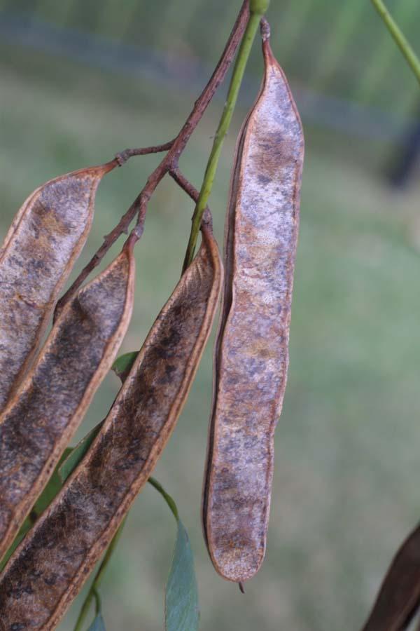 Hazai fafajok: Az akác
