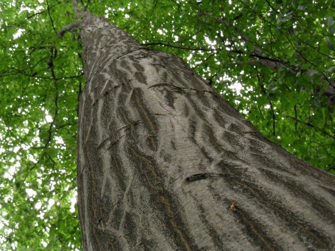 A gyertyánfa